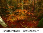the colorful beech forest... | Shutterstock . vector #1250285074