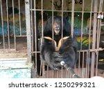 black bear in a zoo  bear with...   Shutterstock . vector #1250299321