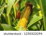Rural Landscape   Ripe Corn Cob ...