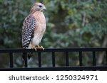hawk raptor bird of prey...   Shutterstock . vector #1250324971
