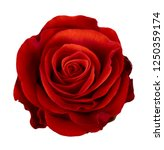 Stock photo red rose flower isolated on white background 1250359174