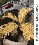 Sago Palm Tree Resurrection