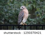 hawk raptor bird of prey... | Shutterstock . vector #1250370421