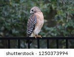 hawk raptor bird of prey... | Shutterstock . vector #1250373994