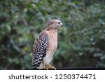 hawk raptor bird of prey... | Shutterstock . vector #1250374471