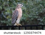 hawk raptor bird of prey... | Shutterstock . vector #1250374474