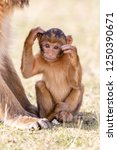 baby barbary macaque  barbary... | Shutterstock . vector #1250390671