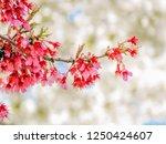 cherry blossom sakura season | Shutterstock . vector #1250424607