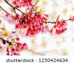 cherry blossom sakura season | Shutterstock . vector #1250424634