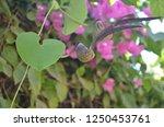 aristolochia ringens  kai fah... | Shutterstock . vector #1250453761