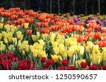 tulip. beautiful bouquet of... | Shutterstock . vector #1250590657