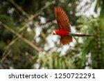 red parrot in flight. macaw... | Shutterstock . vector #1250722291