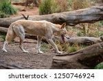 The Dingo Is A Wild Dog Found...