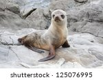 baby seal on the rocks of... | Shutterstock . vector #125076995