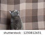 british breed cat. funny... | Shutterstock . vector #1250812651