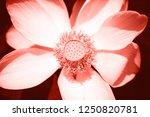 macro photo of beautiful lotus...   Shutterstock . vector #1250820781