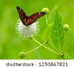 Butterfly On A White Buttonbush.