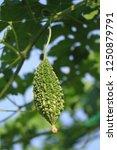 momordica charantia often... | Shutterstock . vector #1250879791