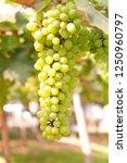 close up white wine grape in...   Shutterstock . vector #1250960797