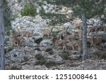 a herd of barbary sheep... | Shutterstock . vector #1251008461