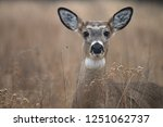 White Tailed Doe In Forest