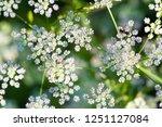 aethusa cynapium oak parsley ... | Shutterstock . vector #1251127084