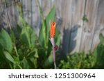 about to burst orange canna lily | Shutterstock . vector #1251300964