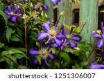 Blue Flowers Of Clematis On Th...