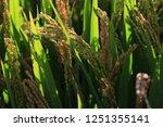 the autumn rice fields   | Shutterstock . vector #1251355141