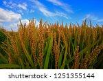 the autumn rice fields   | Shutterstock . vector #1251355144