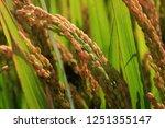 the autumn rice fields   | Shutterstock . vector #1251355147