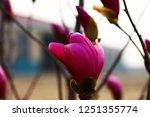 magnolia flower blooming | Shutterstock . vector #1251355774