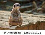 meerkat  suricate  suricata...   Shutterstock . vector #1251381121