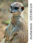 meerkat  suricate  suricata...   Shutterstock . vector #1251381124