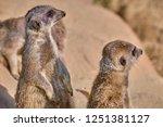meerkat  suricate  suricata...   Shutterstock . vector #1251381127