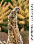 meerkat  suricate  suricata...   Shutterstock . vector #1251381151