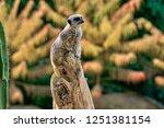 meerkat  suricate  suricata...   Shutterstock . vector #1251381154