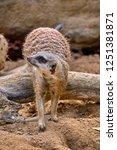 meerkat  suricate  suricata...   Shutterstock . vector #1251381871