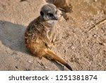 meerkat  suricate  suricata...   Shutterstock . vector #1251381874