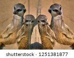 meerkat  suricate  suricata...   Shutterstock . vector #1251381877