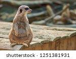 meerkat  suricate  suricata...   Shutterstock . vector #1251381931