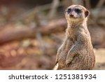 meerkat  suricate  suricata...   Shutterstock . vector #1251381934