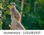 meerkat  suricate  suricata...   Shutterstock . vector #1251381937