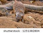 meerkat  suricate  suricata...   Shutterstock . vector #1251382804