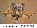 meerkat  suricate  suricata...   Shutterstock . vector #1251382807