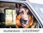dog german shepherd in a car in ...   Shutterstock . vector #1251593407