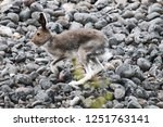 Stock photo arctic hare lepus timidus male rides through boulder beach the animal is shot close up 1251763141