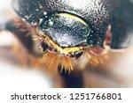 beetle coprophagus saprophages...   Shutterstock . vector #1251766801