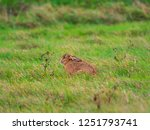 Stock photo a european hare lepus europaeus or brown hare hiding in long grass in a field 1251793741
