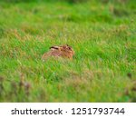 Stock photo a european hare lepus europaeus or brown hare hiding in long grass in a field 1251793744